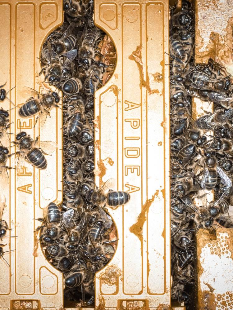 Abérica abejas Apidea